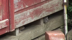Rats under shed 03 Stock Footage