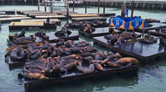 Seals at Pier 39 in San Francisco Stock Footage