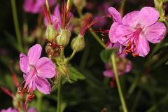Blooming geranium closeup Stock Photos