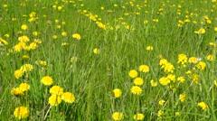 Dandelions meadow in windy day Stock Footage