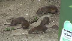 Rats in garden 02 Stock Footage