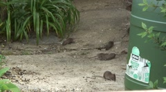 Stock Video Footage of Rats in garden 03