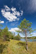 Small pine tree near lake - stock photo