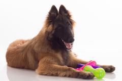 Belgian Shepherd Tervuren puppy with coloured toys, shiny white floor - stock photo