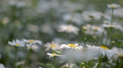 Chamomile in flowerbed - stock footage