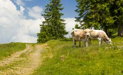 Pair of cows grazing - stock photo