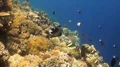 Angelfish on a coral reef Stock Footage