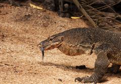 Water monitor lizard Stock Photos