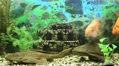Catfish pterigopliht and fish parrots closeup Stock Footage