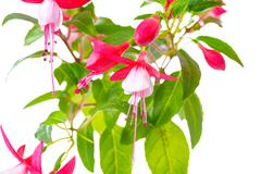 blooming red and white fuchsia flower is isolated on white background, `Shado - stock photo