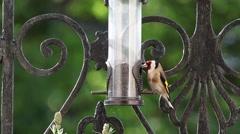 Goldfinch Feeding Wide HD - stock footage