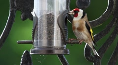 Goldfinch Feeding On Bird Feeder in Garden HD Stock Footage