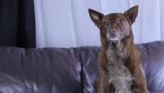 Dog sitting on couch Stock Footage