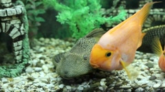 Three red cichlid fish play with each other Stock Footage