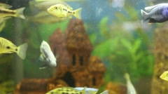 Malawi cichlids. Fish of the genus Cynotilapia Stock Footage