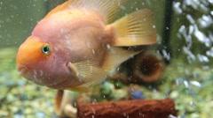Astoronotusy Fish (Astronotus ocellatus) close-up Stock Footage