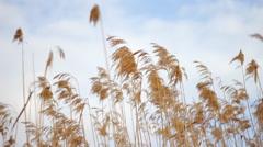 Corn Wheat Barley Stock Footage