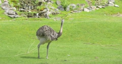 Ostrich, Struthio Camelus, Bird,And Little Birds on The Meadow of Zoo - stock footage