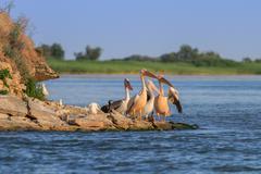 White pelicans (pelecanus onocrotalus) Stock Photos