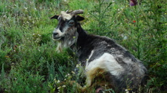 Tired Goat Resting On Meadow Stock Footage
