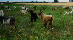 Goats Grazing On Grassland Stock Footage