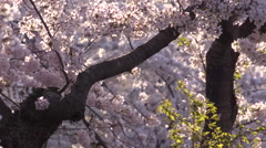 Cherry Blossom Tree Branch and Petals Stock Footage