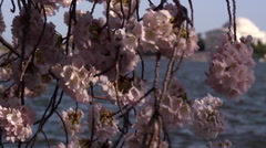 Pan from Cherry Blossoms to Thomas Jefferson Memorial Stock Footage