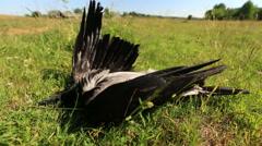 Deceased wild birds Stock Footage