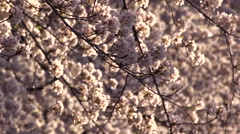 Cherry Blossoms & Petals in the Wind Slow Motion Stock Footage