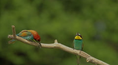 Birds Bee-eaters hunting insects and mating each other Stock Footage