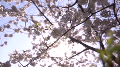 Cherry Blossoms Abstract Close-up Movement Stock Footage