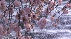 Cherry Blossoms & Gentle Water Stock Footage