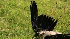 Wing dead birds Stock Footage