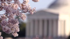 Cherry Blossoms & Out of Focus Thomas Jefferson Memorial Stock Footage