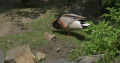 Wild Ducks, Mallards,Anas Platyrhynchos Scratching Had, Closeup - stock footage