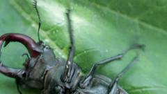 Stag beetle on its back Stock Footage