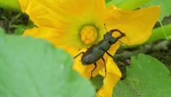 Stag beetle in flower Stock Footage