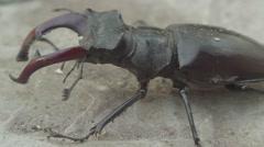 Stag beetle Stock Footage