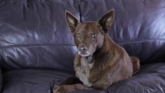 Dog on couch Stock Footage