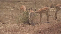 3 IMPALAS EATING Stock Footage