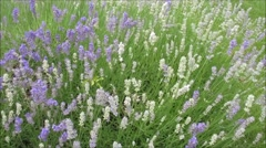 Lavender swaying in the wind Stock Footage