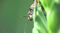 Braun beetle Agonum bug donacinae insect macro 4k - stock footage