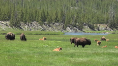 Bison herd with young calves river meadow Yellowstone 4K Stock Footage