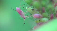 Aphid red bug insects macro on green leaves Stock Footage