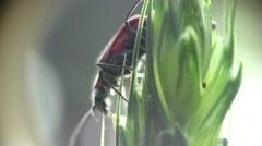 Braun beetle Agonum bug donacinae insect macro 4k Stock Footage