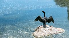 Heron stretching wings - stock photo