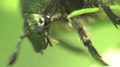 Stock Video Footage of Flower chafer or shaggy group of scarab beetles