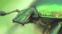 Flower chafer or shaggy group of scarab beetles Stock Footage
