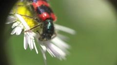 Red Beetle bug Coleoptera in White flower camomile macro field Stock Footage