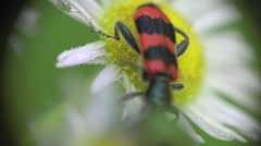 Red Beetle bug Coleoptera in White flower camomile macro field - stock footage